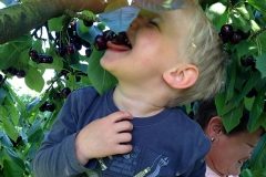 Leckere Kirschen direkt vom Baum